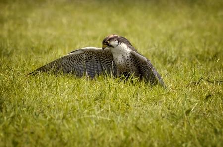 Falcon auf dem Rasen