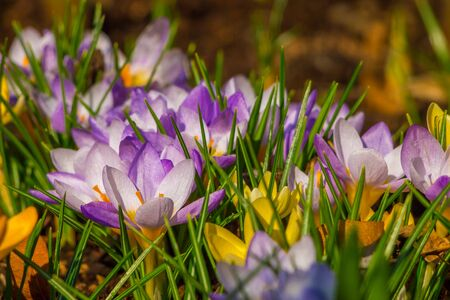 medow: Spring violet crocuses on a medow Stock Photo
