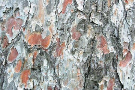 bark peeling from tree: pine tree bark background, organic natural texture
