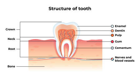 Flat Banner Vector Structure Tooth Infographics. Inscription: Enamel, Dentin, Pulp, Gum, Cementum, Nerves and Blood Vessels. Illustration Written Crown, Neck, Root, Bone. Dental Health.