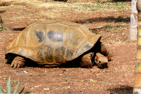 large turtle: Large Turtle in Pafos zoo Cyprus
