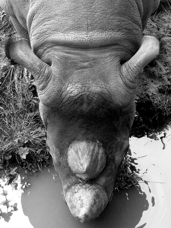 monocrome: Rhinoceros having a drink in monocrome