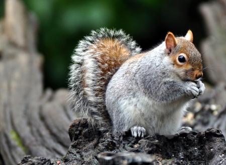 burnley: Grey Squirrel eating a nut in Burnley