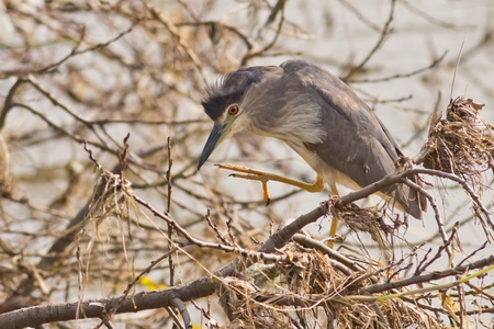 conservationist: Black crowned night heron in action