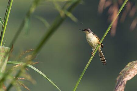 ashy: Ashy Prinia Bird resting on a perch