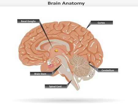 Anatomía del cerebro con ganglios basales, corteza, tronco cerebral, cerebelo y la médula espinal Vectores