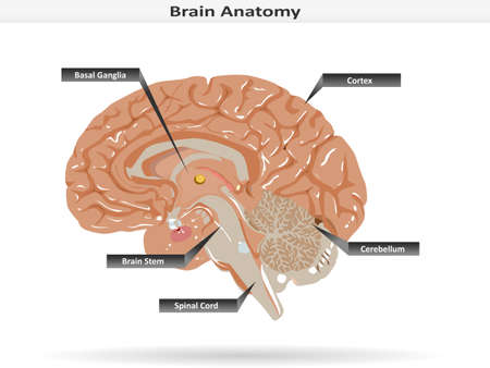 Brain Anatomy with Basal Ganglia, Cortex, Brain Stem, Cerebellum and Spinal Cord Illustration