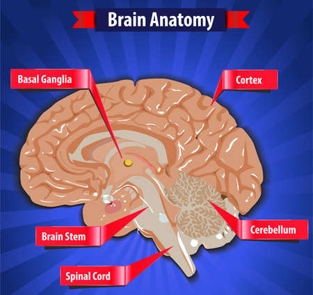 brain function, human brain anatomy with Basal Ganglia, Cortex, Brain Stem, Cerebellum and Spinal Cord- vector eps10