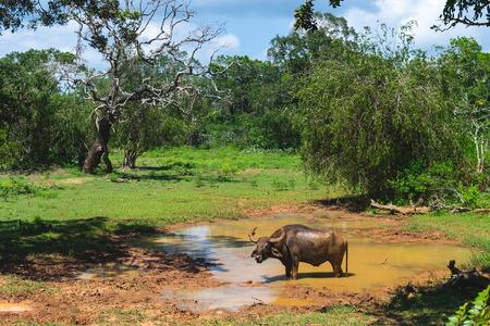 Water buffalo in Yala National park, safari, Sri lanka