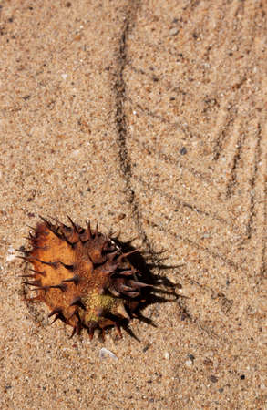 Horse chestnut on the foot print on yellow sand photo