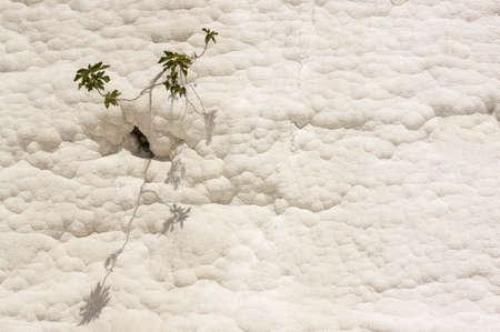schist: Flower on white Travertine in Pamukkale, Denizli, Turkey