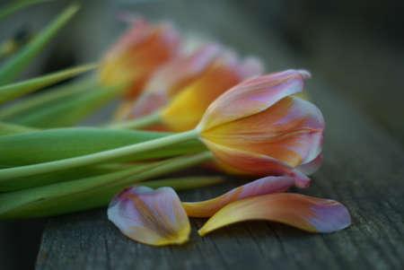 fading: Fading tulips