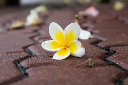 plumeria flower: Plumeria flower on floor Stock Photo