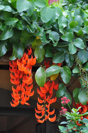 Flame of the Forest is the name of the flower. There are another name,African tulip tree, Fire bell, Fouain tree and Spathodea campanulata. photo