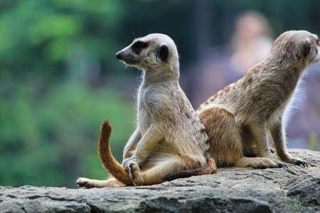 wildlife conservation: meerkat
