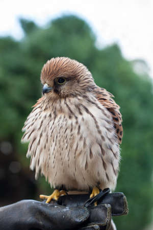 Young Common Kestrel (Falco tinnunculus) sitting on a falconer Stock Photo - 11186606