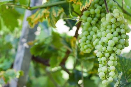 Grapes growing on a vine in a vineyard Stock Photo
