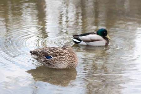 A pair of MallardsWild Ducks (Anas platyrhynchos) resting and floating on water photo
