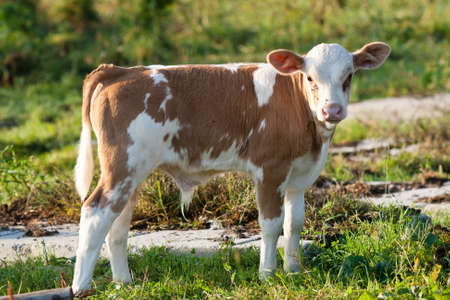 Young calf in a meadow photo