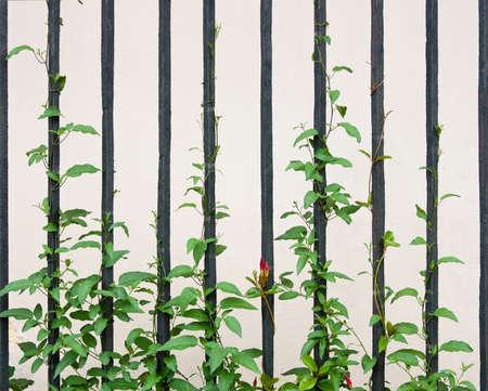 Vine plant climbing a railing photo