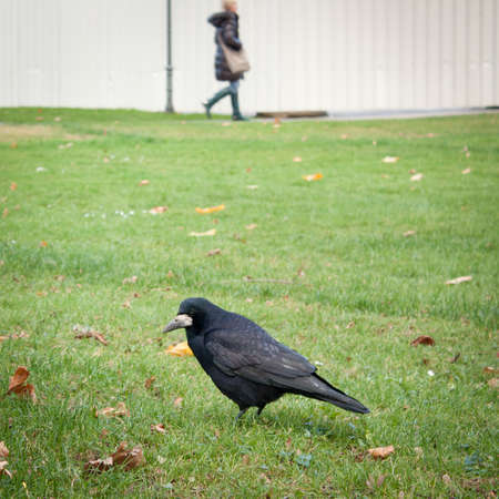 Scene from a city park: rook feeding in grass photo
