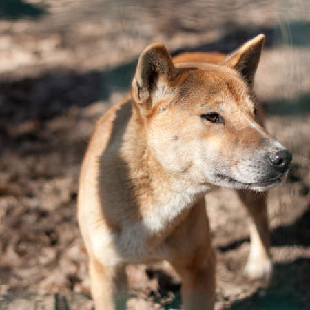New Guinea Singing Dog (Canis dingo hallstromi)