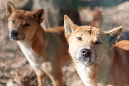 New Guinea Singing Dog   Canis dingo hallstromi Stock Photo - 12714753