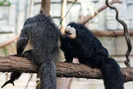 long faced: White-faced Guianan saki monkey couple grooming one another  Pithecia pithecia