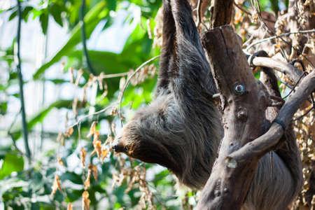 peru amazon: Linnaeus s two-toed sloth  - Choloepus didactylus   on a tree