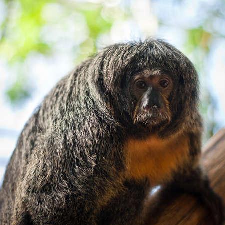 Closeup white-faced Guianan saki monkey female - Pithecia pithecia  Stock Photo