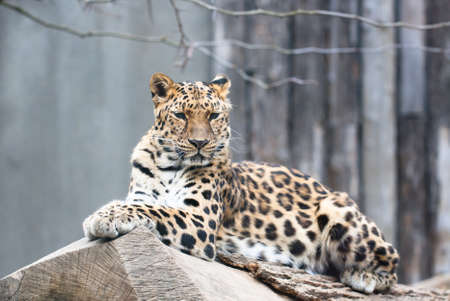 the amur: Amur leopard  Panthera pardus orientalis  Stock Photo
