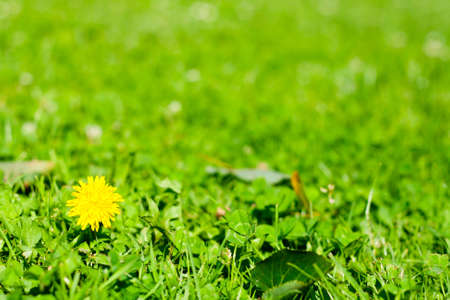 Green spring background  a dandelion in green grass  taraxacum officinale  photo
