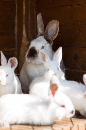 Female white rabbit and her young in a hutch photo