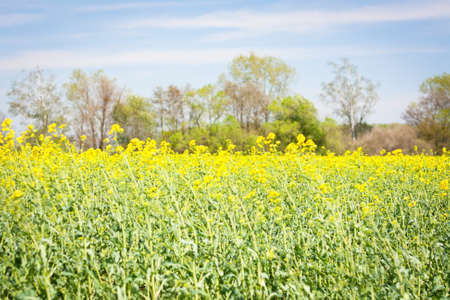 Closeup of colza field in spring