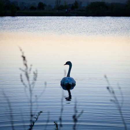tranquil scene: Swan swimming in a pond at sunset on a warm spring evening Stock Photo