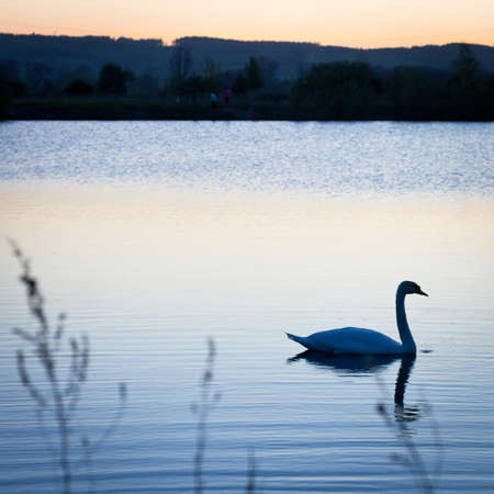 end of a long day: Swan swimming in a pond at sunset on a warm spring evening Stock Photo