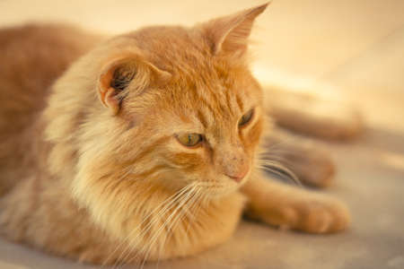 Closeup of a ginger tabby cat photo