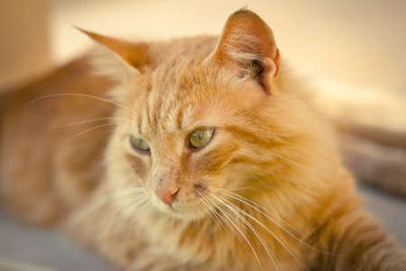 gato naranja: Primer plano de un gato tabby del jengibre