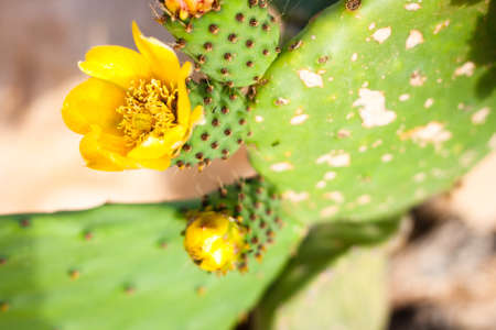 Closeup of yellow Opuntia ficus-indica flowers photo