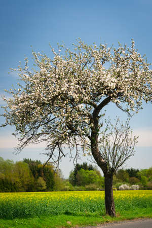 Blossoming apple tree on a lovely sunny spring day Stock Photo - 14193014