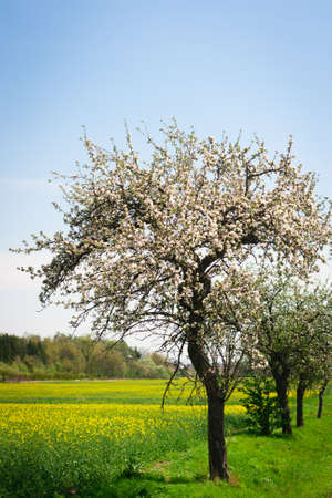 Blossoming apple tree on a lovely sunny spring day Stock Photo - 14193021