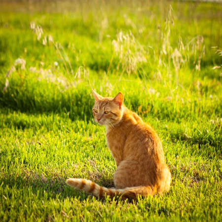 Ginger tabby cat sitting in grass on a warm summer evening 版權商用圖片