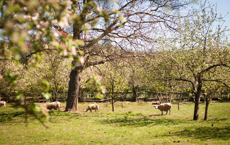 Idyllic rural scenery  sheep grazing in an orchard on a lovely spring day photo