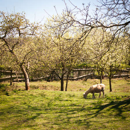 Idyllic rural scenery  sheep grazing in an orchard on a lovely spring day Stock Photo - 14193008
