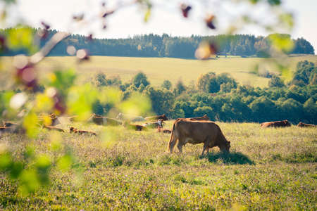 Cows quietly grazing in a meadow lit by warm evening summer sunshine Stock Photo - 14555601