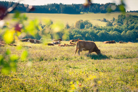 Cows quietly grazing in a meadow lit by warm evening summer sunshine Stock Photo - 14555608