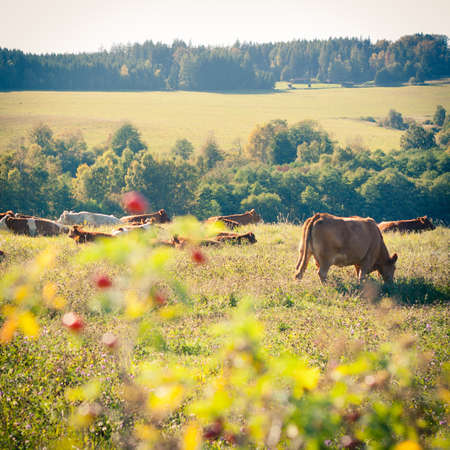 Cows quietly grazing in a meadow lit by warm evening summer sunshine Stock Photo - 14555594