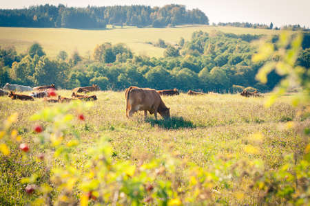 Cows quietly grazing in a meadow lit by warm evening summer sunshine Stock Photo - 14555600
