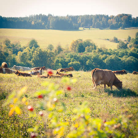 Cows quietly grazing in a meadow lit by warm evening summer sunshine Stock Photo - 14555596
