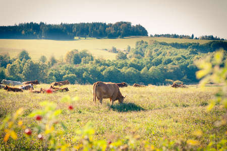 Cows quietly grazing in a meadow lit by warm evening summer sunshine Stock Photo - 14555602